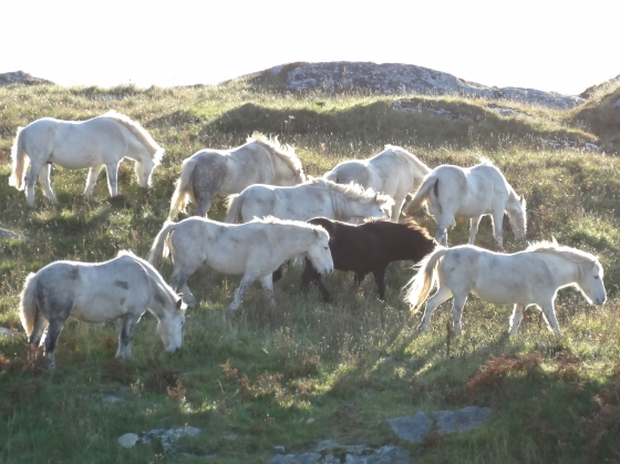 Ponies on Eriskay in evening light
