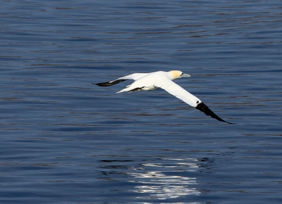 Gannet in flight. Not actually on Eriskay but taken from the ferry on the way in.