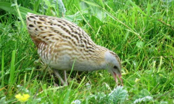 Corncrake looking for breakfast