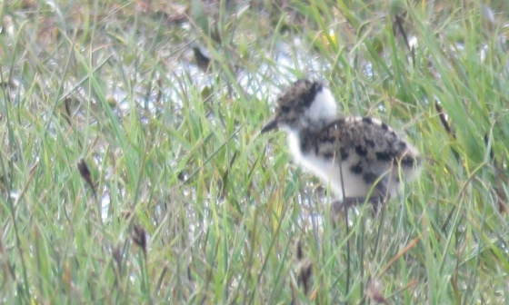 Lapwing chick exploring his world