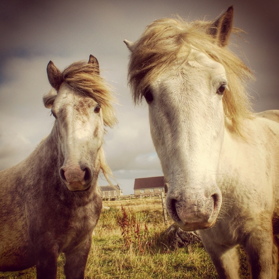 A wee selfie with some Eriskay poneys