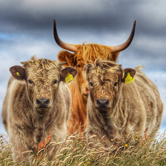 Life on the croft… The wee gang of Highlanders Photo of DaliMach by Jef Martin