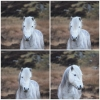 Eriskay poney....