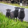 Hebridean gang on the run.